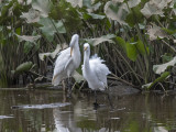The Great Egret encounter: Fluffed