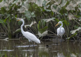 The Great Egret encounter: Was it something I said?