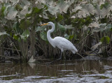 The Great Egret encounter: Classic pose