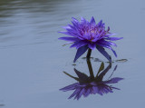 Reflected water lily