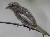 Demure sparrow
