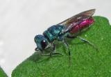 Cuckoo Wasp - Guldstekel.jpg