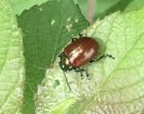 Bladbaggar - Chrysomelidae