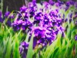 Irises after rain storm