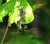 dragonflies_and_damsels