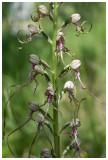 Himantoglossum hircinum subsp. adriaticum
