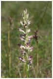 Anacamptis coriophora subsp. fragrans