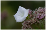Calystegia sepium et Eupatorium cannabinum