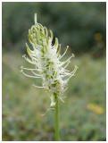 Phyteuma spicatum