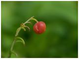 Convallaria majalis berry