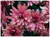 chrysant