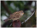 House Sparrow ♀