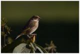 Greenfinch ♀