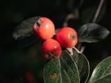 Cotoneaster sternianus
