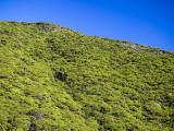 Manuka bush