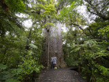 #7 of the worlds largest Kauri