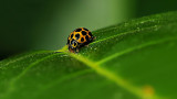 Twelve-spot Ladybird