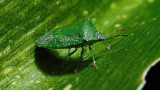 shield beetle