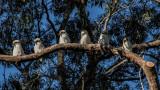 Kookaburra blog