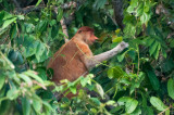 Male proboscis monkey, Kinabatangan River