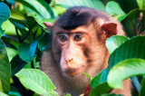 Short-tailed macaque, Kinabatangan River