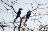 A pair of Asian black hornbills above the Kinabatangan River