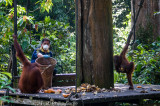 Orangutan feeding platform at Sepilok, Sabah