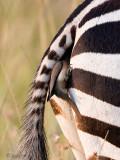 Red-billed Oxpecker - Roodsnavelossenpikker - Buphagus erythrorhynchus