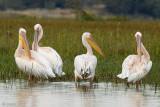 Great White Pelican - Roze Pelikaan - Pelecanus onocrotalus