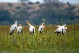 Yellow-billed Stork - Afrikaanse Nimmerzat - Mycteria ibis
