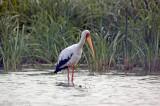 Yellow-billed Stork - Afrikaanse Nimmerzat - Mycteria ibisw