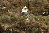 African Fish Eagle - Afrikaanse Zeearend - Haliaeetus vocifer