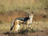 Black-backed Jackal - Zadeldekjakhals - Canis mesomelas