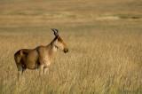 Hartebeest - Hartebeest - Alcelaphus buselaphus
