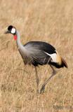 Grey Crowned Crane - Grijze Kroonkraanvogel - Balearica regulorum