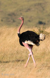 Ostrich - Struisvogel - Struthio camelus