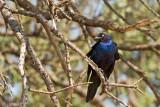 Southern Blue-eared Glossy-starling - Zuidelijke Blauwoorglansspreeuw - Lamprotornis elisabeth