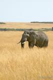 African Elephant - Afrikaanse Olifant - Loxodonta africana