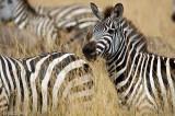 Plains Zebra - Steppezebra -Equus quagga