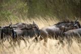Blue Wildebeest - Blauwe Gnoe - Connochaetes taurinus