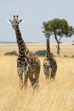 Giraffe - Giraf - Giraffa camelopardalis