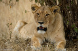 Lion - Leeuw - Panthera leo