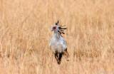 Secretary Bird - Secretarisvogel - Sagittarius serpentarius