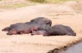 Hippopotamus - Nijlpaard - Hippopotamus amphibius