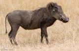 Warthog - Knobbelzwijn - Phacochoerus africanus
