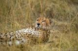 Cheetah - Jachtluipaard - Acinonyx jubatus