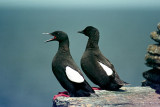 Orkney, July 1971: Birds