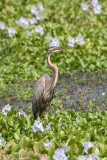 Purple Heron - Purperreiger - Ardea purpurea