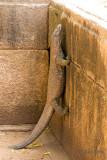 Land Monitor - Bengaalse Varaan - Varanus bengalensis