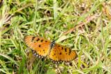 Tawny Coster - Acraea violae